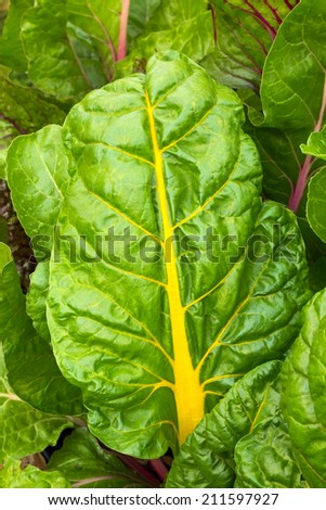 Swiss chard colors the vegetable garden with large green leaves and colorful ribs and stems. - stock photo