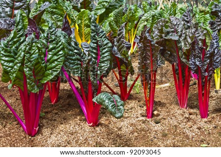 Swiss Chard Vegetable Swiss Chard in a Vegetable