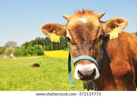 Swiss cow - stock photo