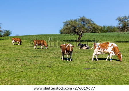 Swiss cows on meadow, Aargau, Switzerland - stock photo