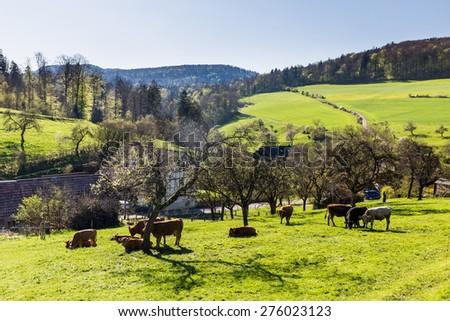Swiss cows on meadow, Aargau, Switzerland - stock photo