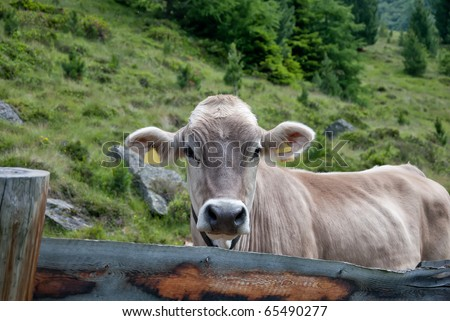 Swiss cows Portrait - stock photo