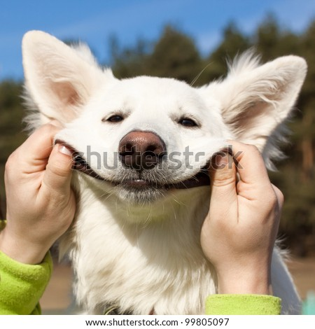 Swiss Shepherd dog smiles with man`s help - stock photo