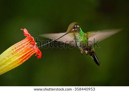 Sword-billed hummingbird, Ensifera ensifera, fling next to beautiful orange flover, bird with longest bill, in the nature forest habitat, Ecuador - stock photo