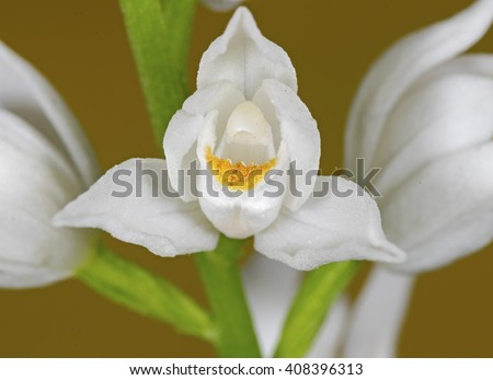 Sword-leaved helleborine (Cephalanthera longifolia).Wild orchid - stock photo