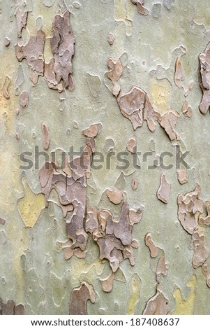 sycamore typical pastel bark pattern, detail - stock photo