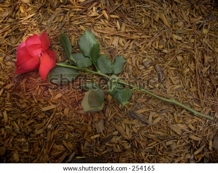 """Symbolic depiction of Christianity-a """"Rose trampled on the ground"""" - stock photo"""