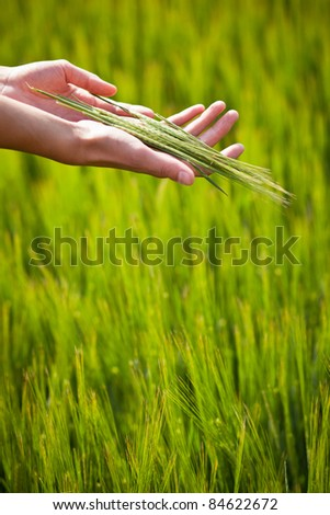 Symbolic gesture suggesting fertility, plenitude, health. Woman hands holding unripe barley ears in a lovely barley field lit by summer sunshine - stock photo