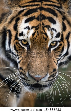 Symmetrical close up of Siberian Tiger's face/Tiger/Siberian Tiger - stock photo