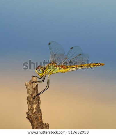 Sympetrum dragonfly - stock photo