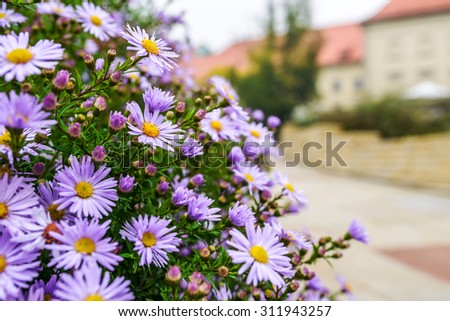 Symphyotrichum novi-belgii also known as New York Aster is the type species for Symphyotrichum, a genus of the family Asteraceae whose species were once considered to be Asters. - stock photo