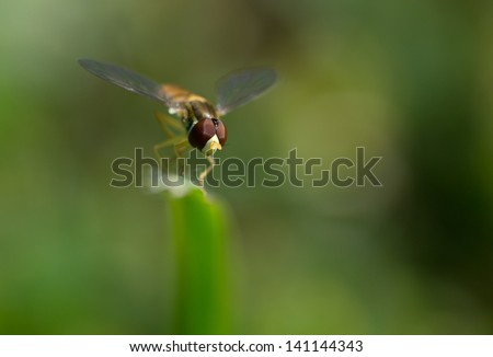 Syrphid fly on a blade of grass. - stock photo