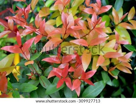 Syzygium australe plant, commonly called Brush Cherry or Scrub Cherry - top view - stock photo