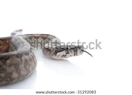 T-positive Nicaraguan Boa (Boa constrictor imperators) - stock photo