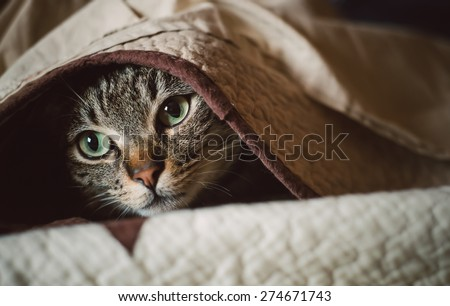 Tabby cat hiding under a blanket at home - stock photo