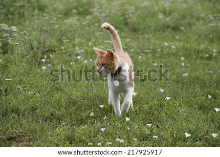 Tabby cat hunting on the lawn.  Lovely playful kitten walking on green grass  - stock photo