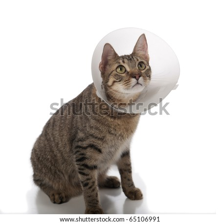 Tabby cat in a cone isolated on a white background - stock photo