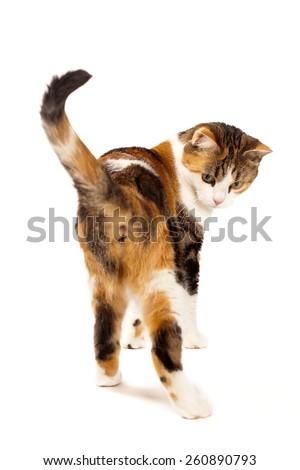 tabby cat in studio - stock photo