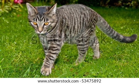 Tabby cat is walking on the grass. - stock photo