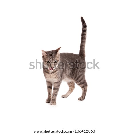 Tabby cat licking lips isolated on white - stock photo