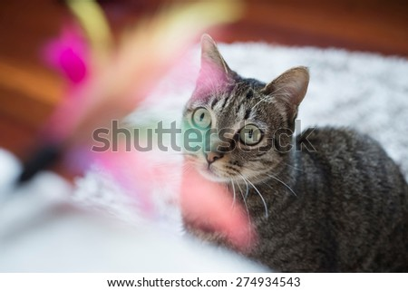 Tabby cat looking at a feather toy at home - stock photo