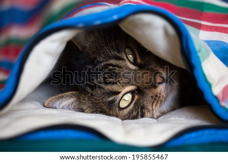 Tabby cat lying under the coloured quilt with eyes open - stock photo