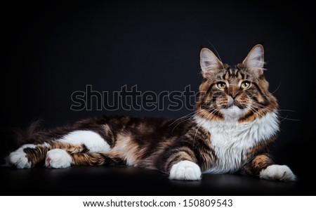 tabby cat, Maine Coon - stock photo