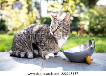Tabby cat on a paved walkway in the garden crouching next to a stainless steel water bowl looking alertly to the side - stock photo