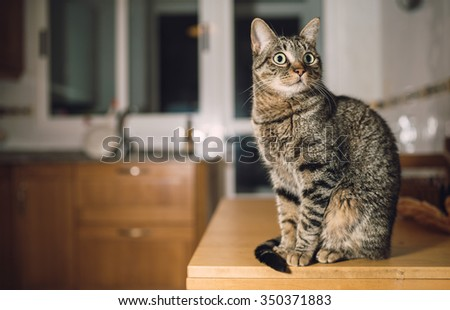 Tabby cat on the top of the table in the kitchen at home - stock photo