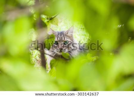 Tabby Cat peeking through the undergrowth. - stock photo