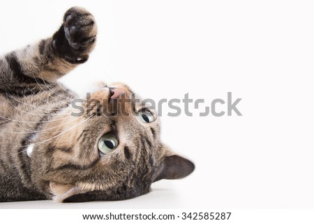 Tabby cat portrait is looking something with funny - stock photo