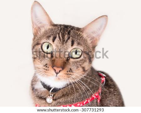 Tabby cat portrait looking - stock photo