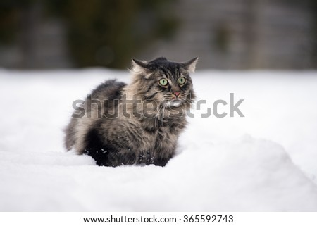 tabby cat scared outdoors in winter - stock photo