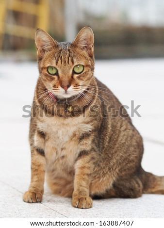 Tabby cat standing  - stock photo