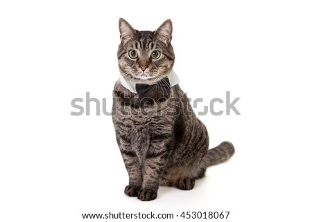 Tabby cat standing wearing tuxedo collar bowtie costume isolated on white background - stock photo