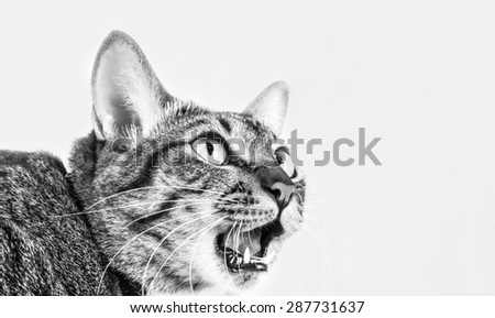 Tabby cat was shocked in black and white - stock photo