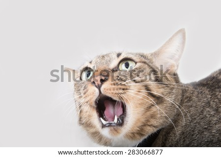 Tabby cat was shocked in gray background - stock photo