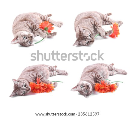 Tabby Cat with gerbera flower on white background - stock photo