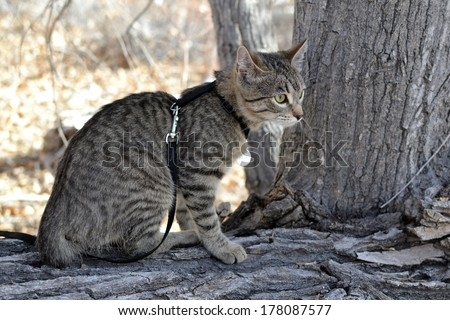 Tabby Cat with harness and leash on tree branch - stock photo