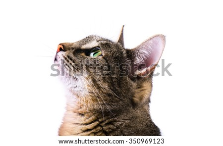 Tabby curious cat isolated over white background - stock photo