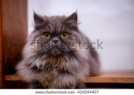 Tabby grey and white  persian cat sitting on wooden table,blurred - stock photo