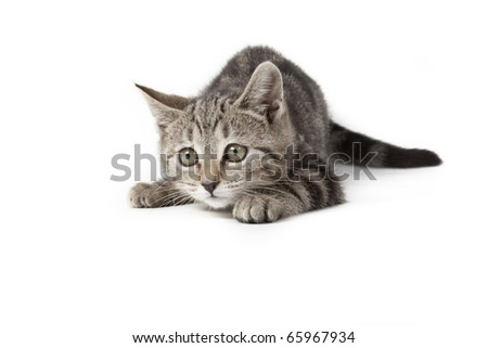 tabby kitten isolated on white background playing - stock photo