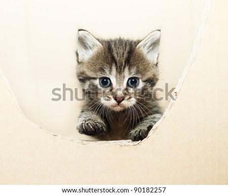 tabby kitten peeking out of the box - stock photo