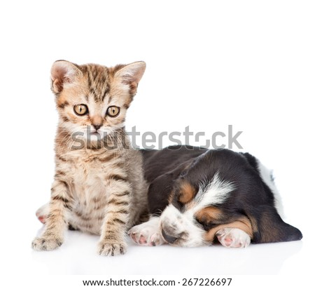 Tabby kitten sitting with sleeping basset hound puppy. isolated on white background - stock photo