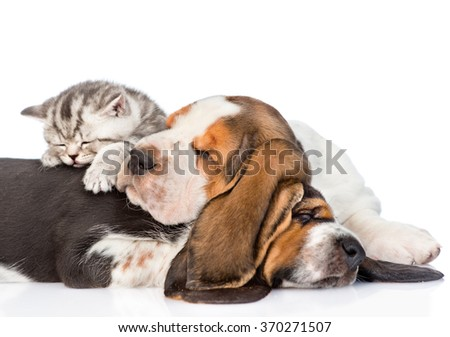 Tabby kitten sleeping on puppies basset hound. isolated on white background - stock photo