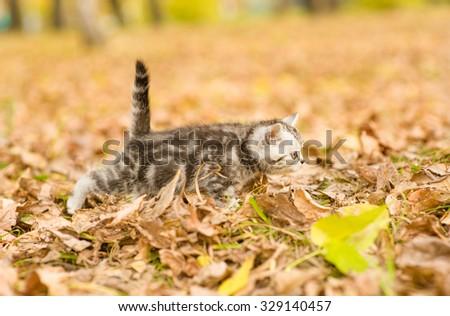 Tabby kitten walking in autumn park - stock photo