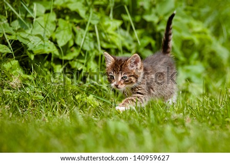 tabby kitten walking on the grass - stock photo