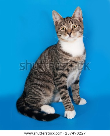 Tabby kitten with white spots sitting on blue background - stock photo