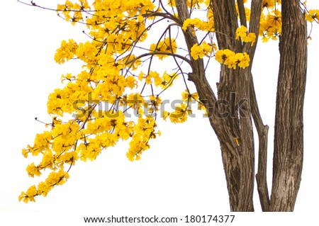 Tabebuia chrysantha - stock photo
