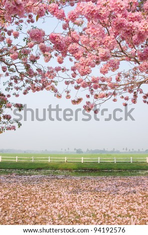 Tabebuia rosea  blossom with grass field background - stock photo